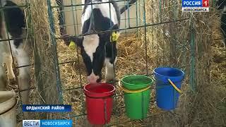 Новосибирские ученые вывели новую молочную породу коров