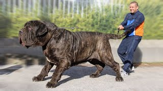 The 10 Biggest Mastiff Dog Breeds