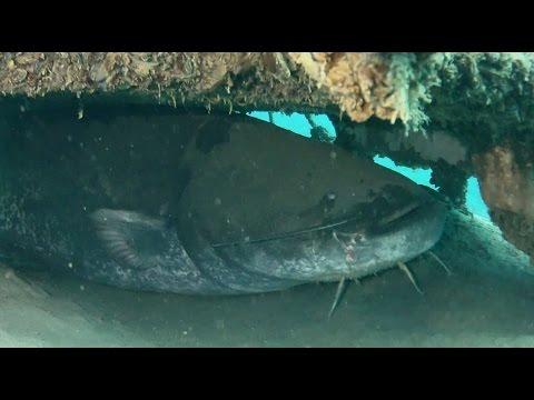 Giant Catfish - The Biggest Catfish I´ve Ever Seen Underwater