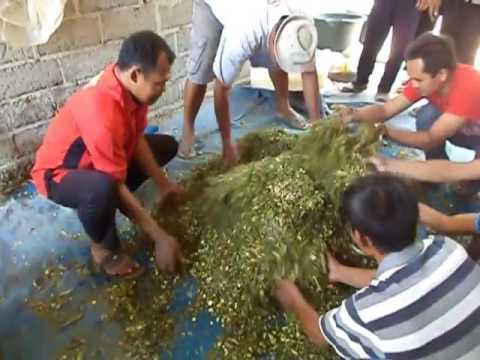 proses fermentasi pembuatan pakan hijauan untuk di simpan