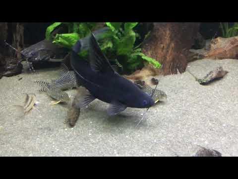 Black Lancer Catfish, Bagrichthys Macracanthus