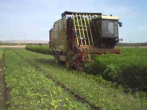 Mechanized Harvest of High Density Moringa