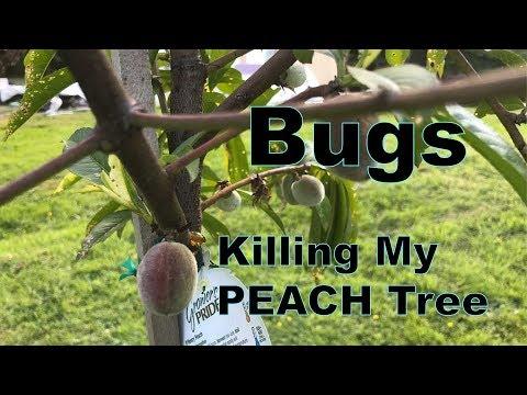 Bugs Are Killing My Peach Tree