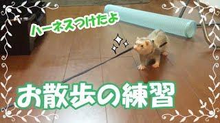 家の中でハーネスをつけてお散歩の練習をしました。 初めてのハーネスな...