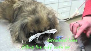 Canine Dental Disease with Extractions