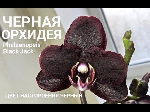 ОРХИДЕЯ цвет настроения черный Phalaenopsis Black Jack