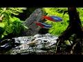 ヌマエビの冒険と、ネオンテトラ水槽の出来事 の動画、YouTube動画。
