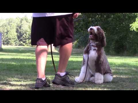 Rick Schubert of Master's Way Dog Training with a  Whoodle