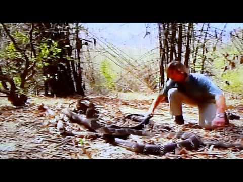 Bắt Rắn Hổ mang chúa bằng tay dài hơn 3m