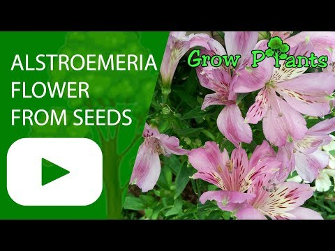 Alstroemeria flower from seeds