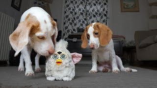 Dog Saves Puppy from Evil Furby: Cute Puppy Dogs Potpie & Maymo