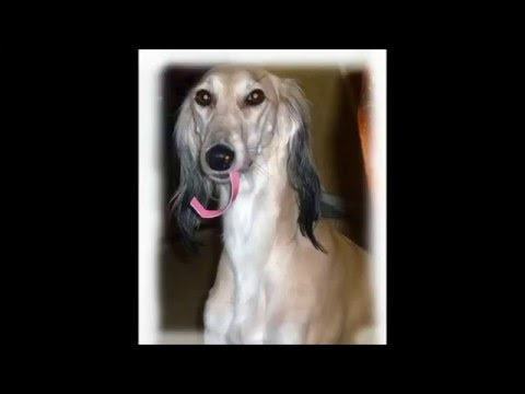 Meet Zanna the Saluki who cleans up the house