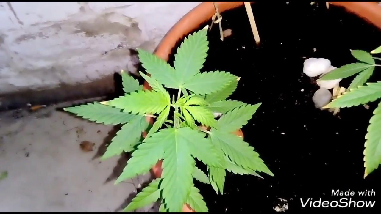 Листья конопли желтеют и сохнут игра про марихуану на ios