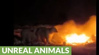 Crazy polar bears play with raging fire