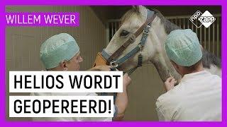 HOE WORDEN PAARDEN GEOPEREERD? | Willem Wever | NPO Zapp