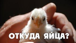 Вся Правда о Яйцах: Откуда Они Берутся?(К нашему времени, мы настолько селекционировали кур, что они несут яйца каждый день. Куры на обычных и даже..., 2016-05-11T16:37:24.000Z)