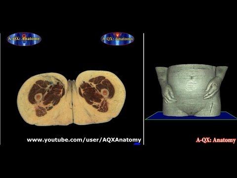 Анатомия - Строение стенки сердца