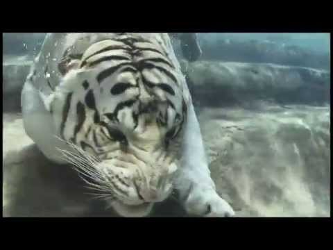 Bengal White Tiger Swimming Underwater   HD