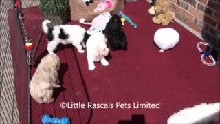 Little Rascals Cavapoo Puppies