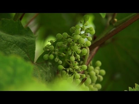 Snow the secret ingredient for making wine in Finland
