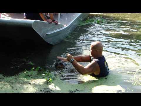 Tour guide jumps in water with14 ft alligator