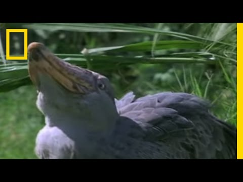 Shoebill Stork vs. Lungfish | National Geographic