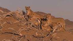 Wüstenkönige: Löwen der Namib Vanishing Kings - Vol. 2 @ 2017