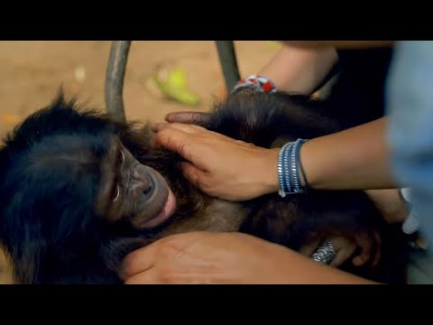 Bonobo Loves Being Tickled - Animals In Love - BBC