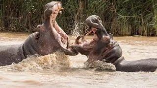 Animals/Aggressive behavior 9/Best brutal fights of animals..Лучшее видео о боях  животных!!!