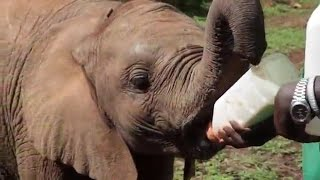 Baby Elephant Loses Entire Family To Poachers | The Dodo
