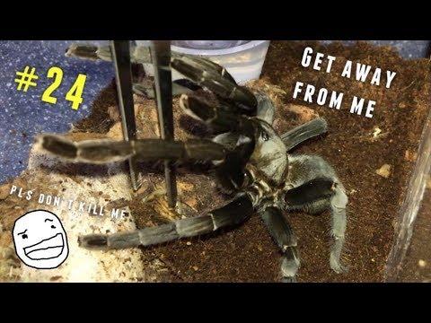 Tarantula Feeding Video #24 [Part 1] ~ THREAT POSTURES 101 !!!