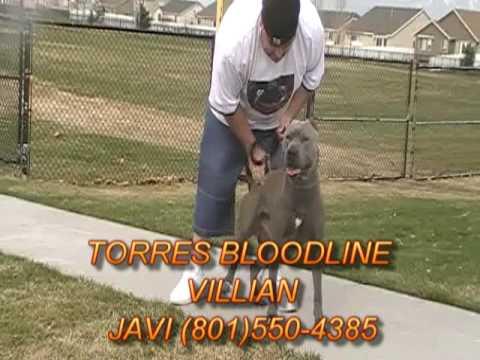 Torres Bloodlines, American Pitbull Terriers of SLC Utah