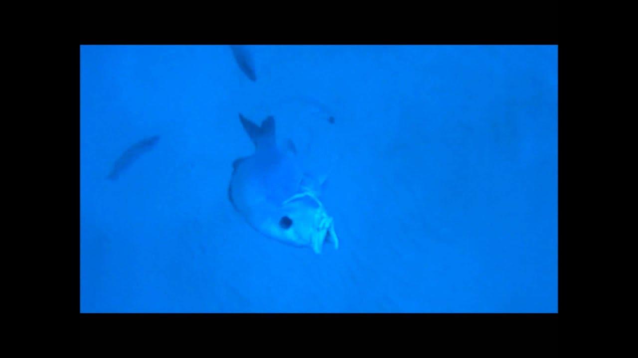 Closeup big fish hot bite!! Underwater fishing video ...