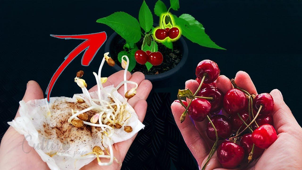 Como germinar semillas de cereza | Exito asegurado