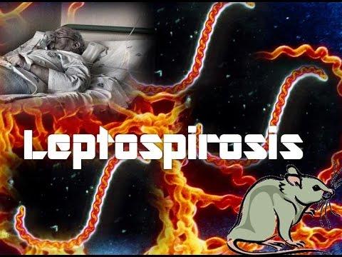 Leptospirosis (Leptospira interrogans) - YouTube