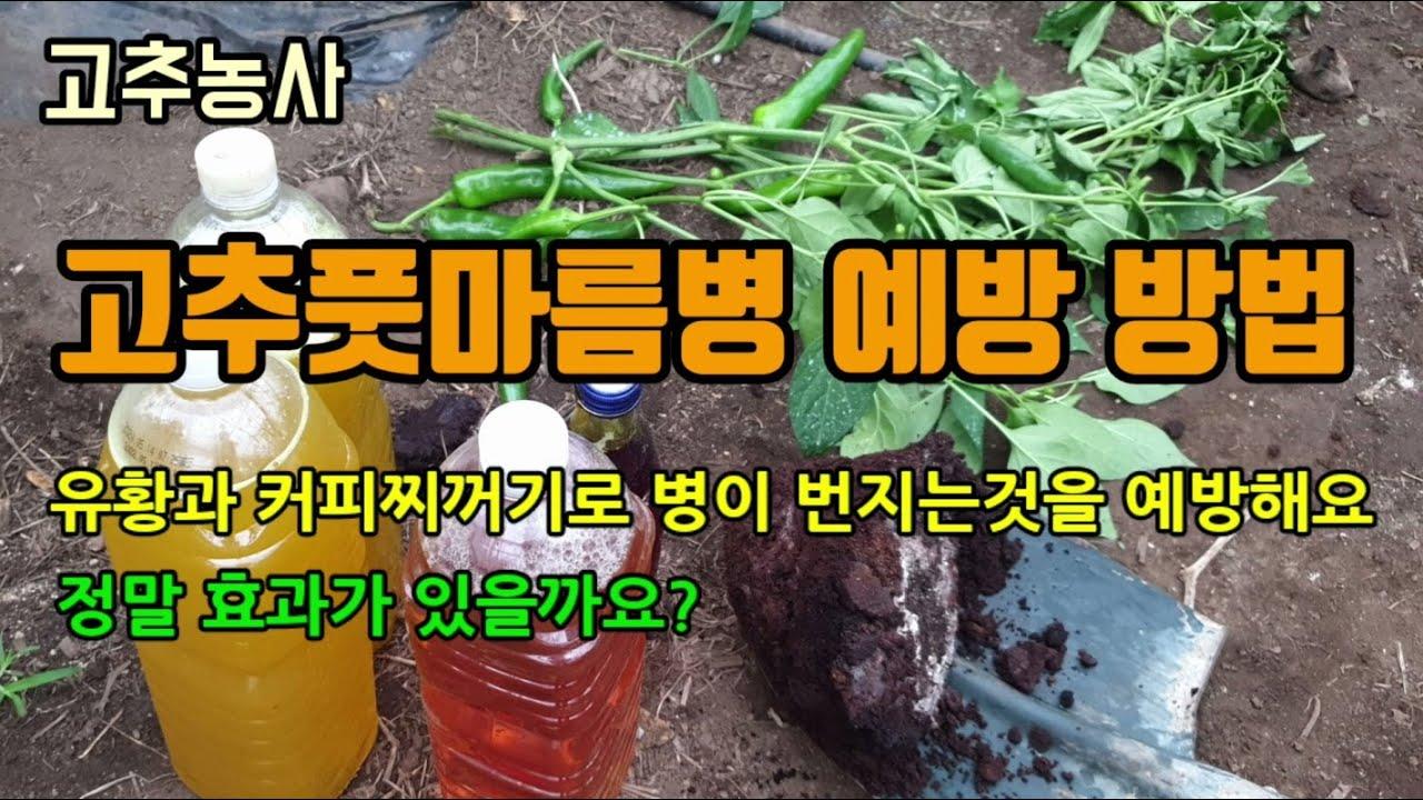 고추농사 고추풋마름병(청고병) 예방방법으로 유황과 커피찌꺼기를 고추밭에 뿌려주어 토양병 발생 줄이기 유황 희석배수와 뿌리는 방법