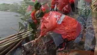Video   Rehabilitasi Mangrove di Cilincing, Jakarta Utara   PMI & American Red Cross