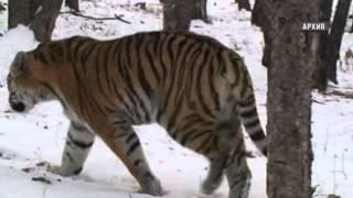 Амурского тигра и дальневосточного леопарда ждет поголовная перепись