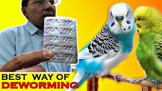 Deworming ☑️ of Birds | Best Way of Budgie Deworming | Video in Urdu/Hindi