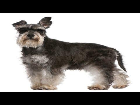 Curso Tosas em Cães e Gatos e Acidentes em Pet Shop - Tosa Padrão Schnauzer