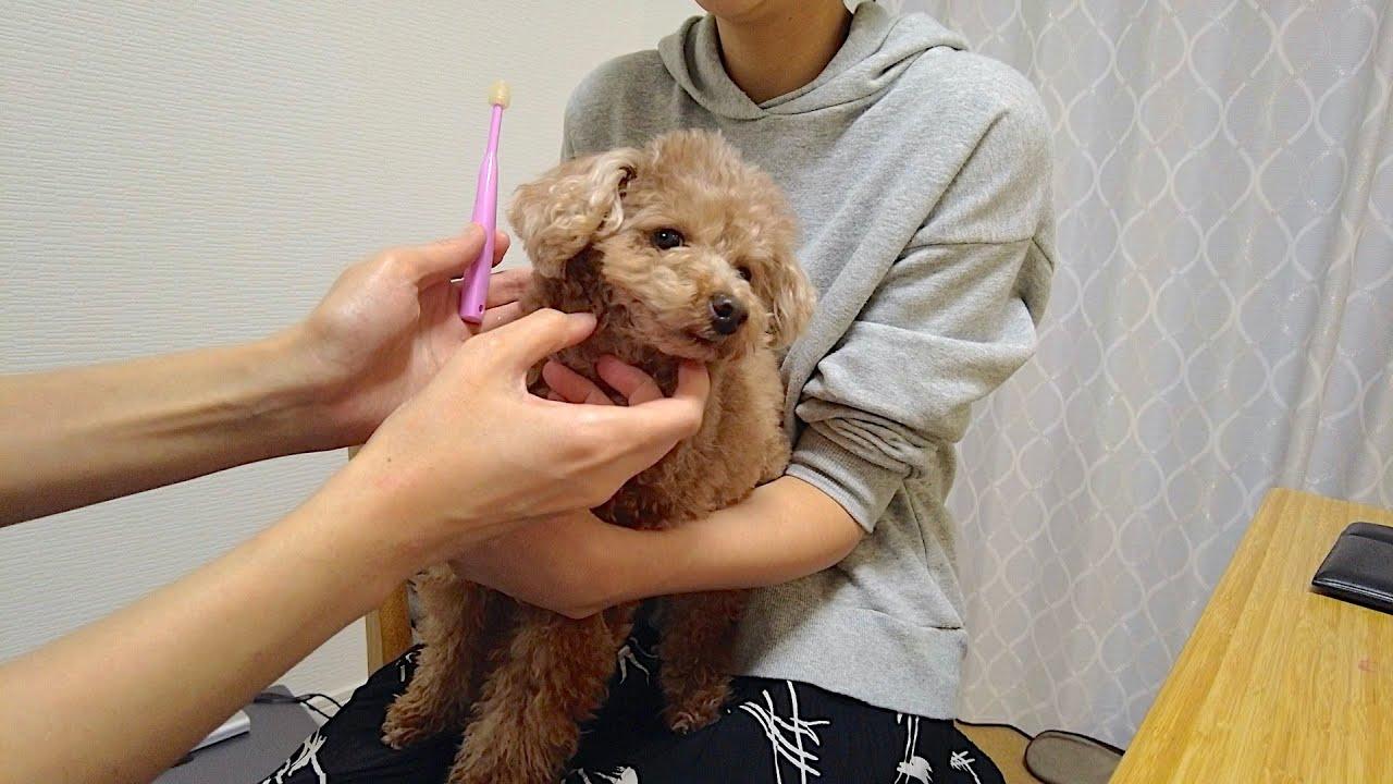 歯磨きされる時の犬の態度がパパとママで露骨に違いすぎて笑ったw【トイプードル】