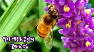 벌이 맥문동 꽃에서 꿀따는 영상