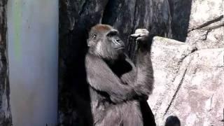 2011.03.27撮影 千葉動物園のゴリラのローラちゃん。いつもマイペース。...