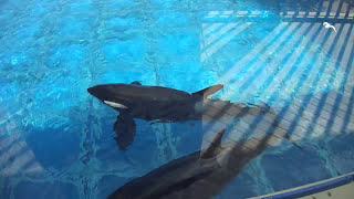 Makani crying for Kasatka - SeaWorld San Diego