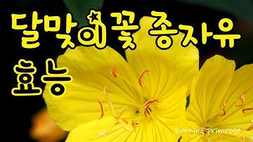 [Evening primrose] 달맞이꽃 종자유 효능 여성 건강에 탁월