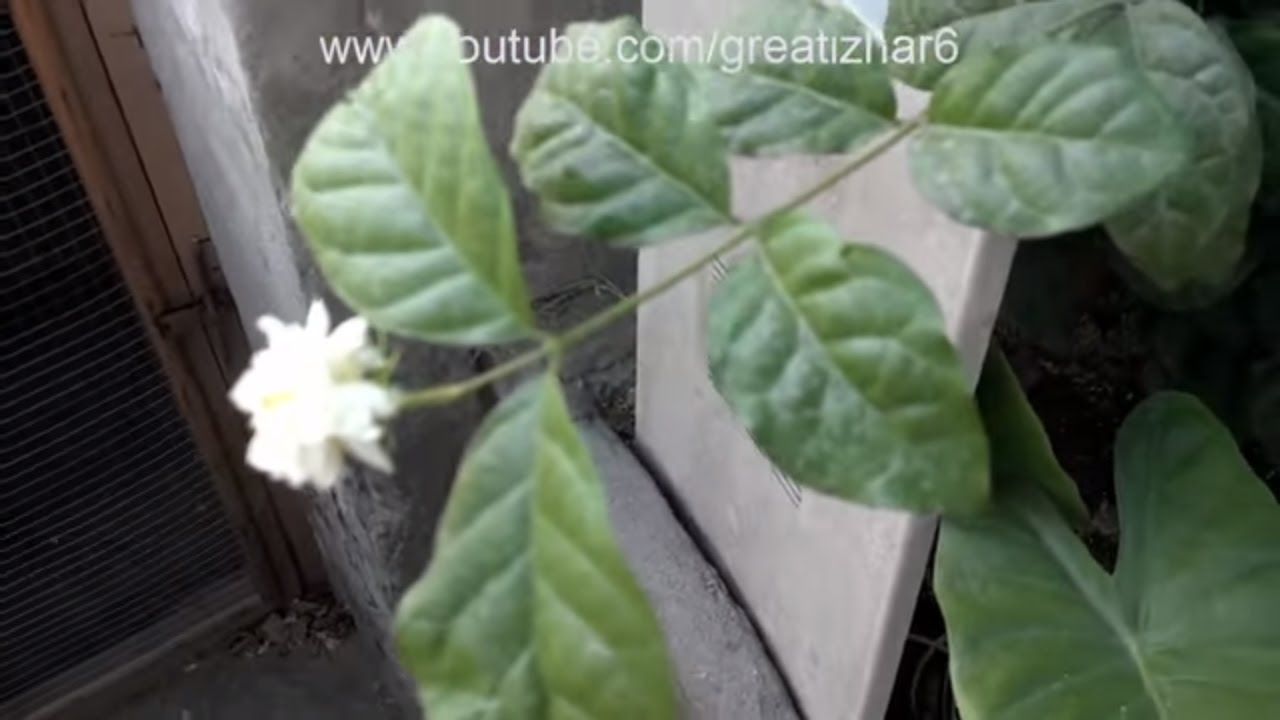 How To Grow Mogra Jasmine From Air Layering Care Of Jasmine Plant
