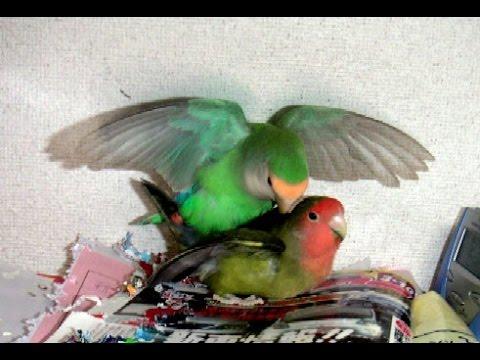 Lovebird Breeding Story
