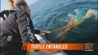 ENTANGLED TURTLE RESCUED BY SEA SHEPHERD
