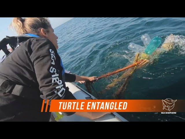 ENTANGLED TURTLE RESCUED BY SEA SHEPHERD