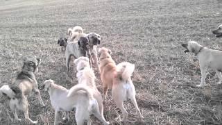 Kangal ordusu